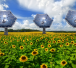 Solar Sunflower © sunflower_field_748